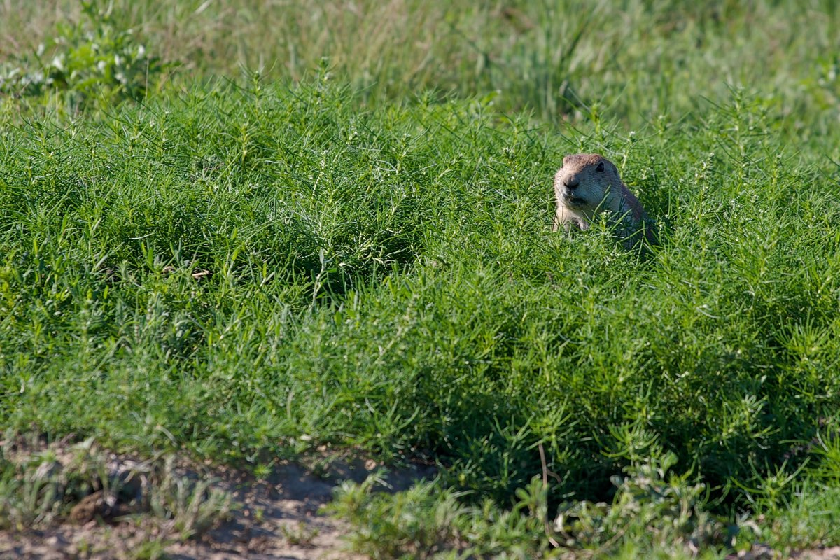 Prairie Dog in Theodore Roosevelt National Park.