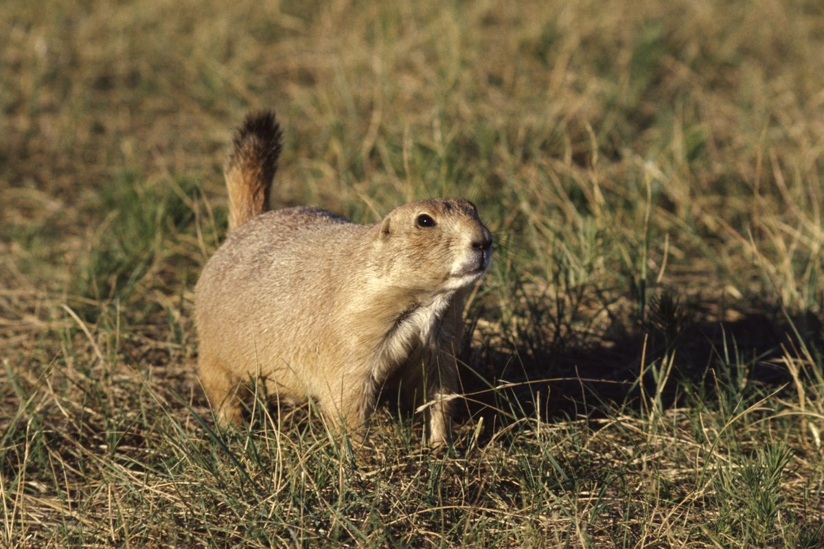 Prairie Dog barking in Wind Cave National Park.