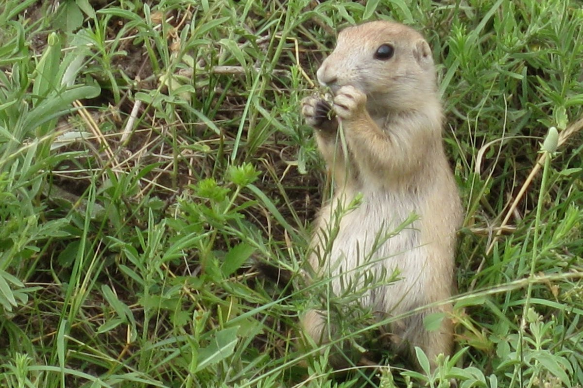 Prairie Dog enjoying a snacking Wind Cave National Park.