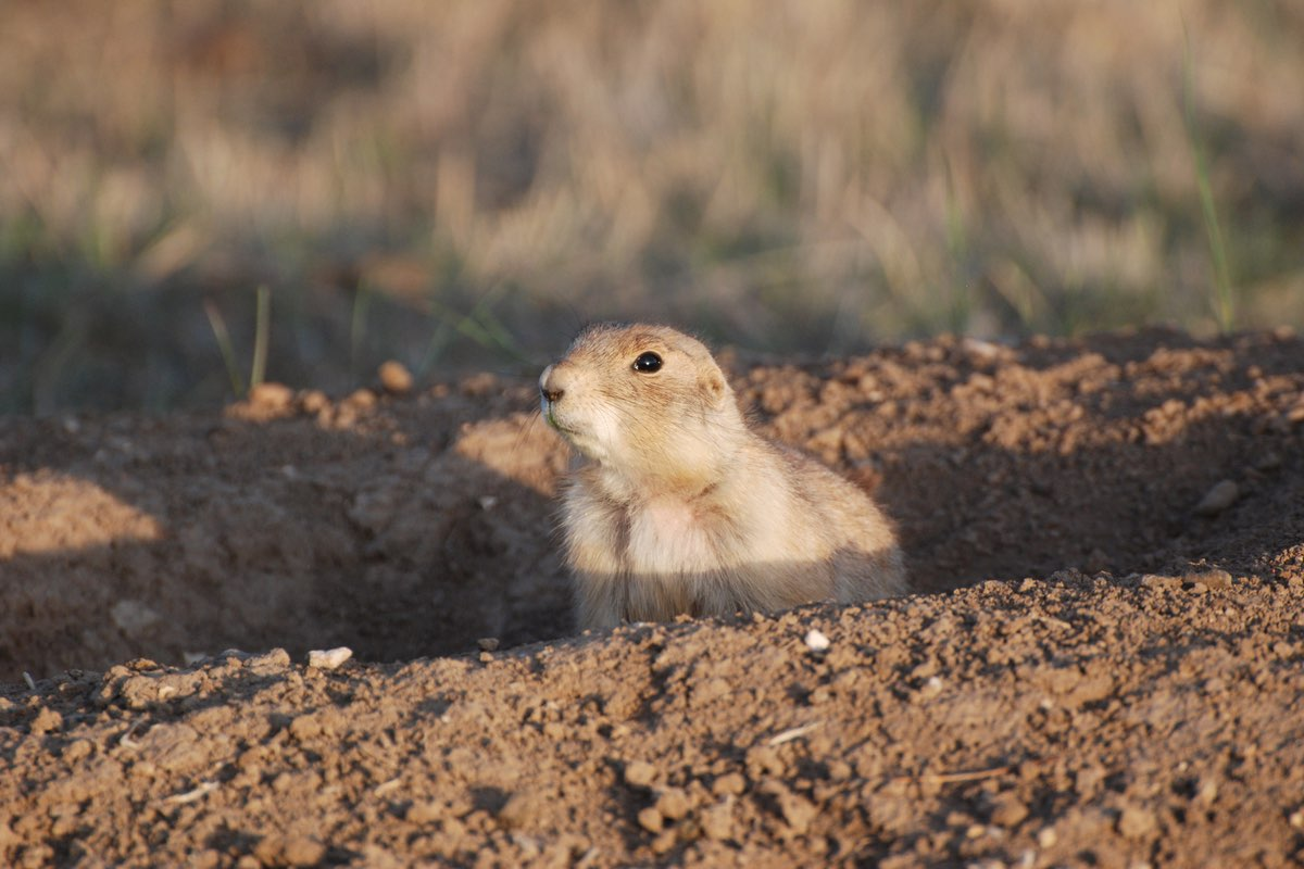 Prairie Dog in Wind Cave National Park.