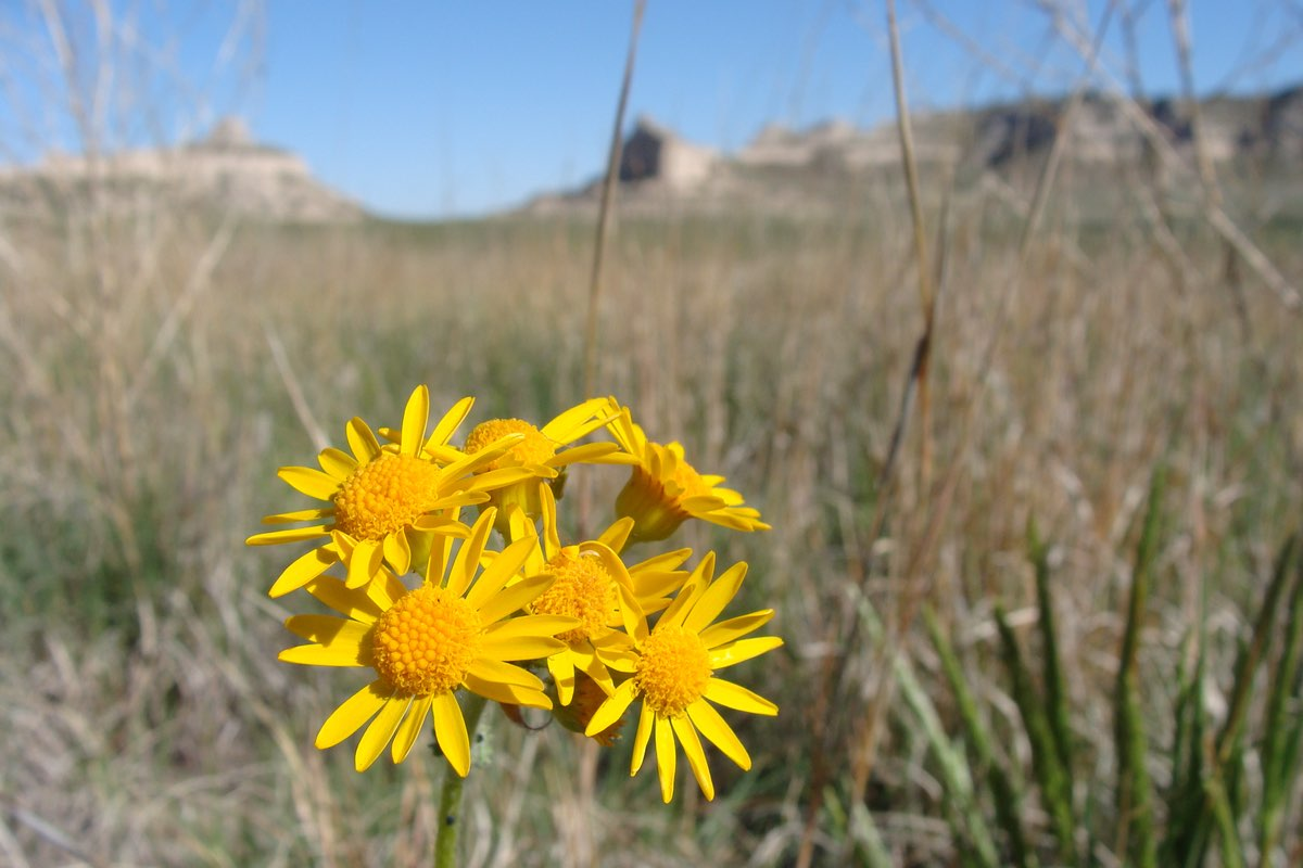 Prairie Groundsel in Badlands National Park.