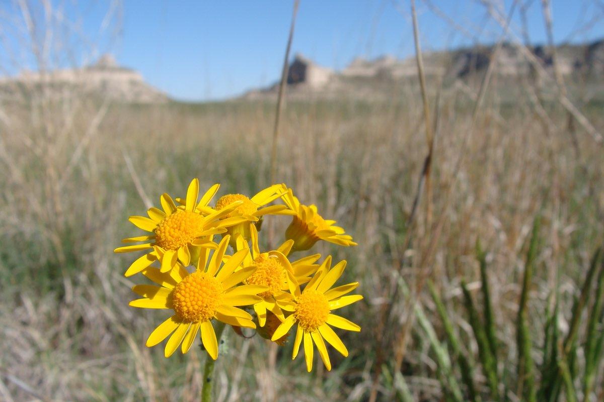 Prairie Groundsel (Packera plattensis) in Badlands National Park.