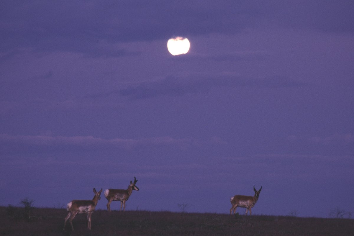 Pronghorn in the moonlight in Wind Cave National Park.