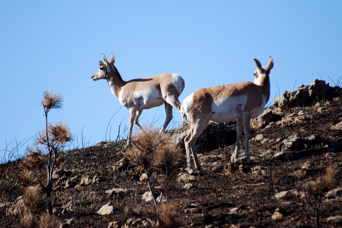 Pronghorn in Wind Cave National Park.