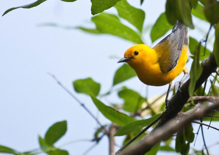 Male Prothonotary Warbler (Protonotaria citrea) in Congaree National Park.
