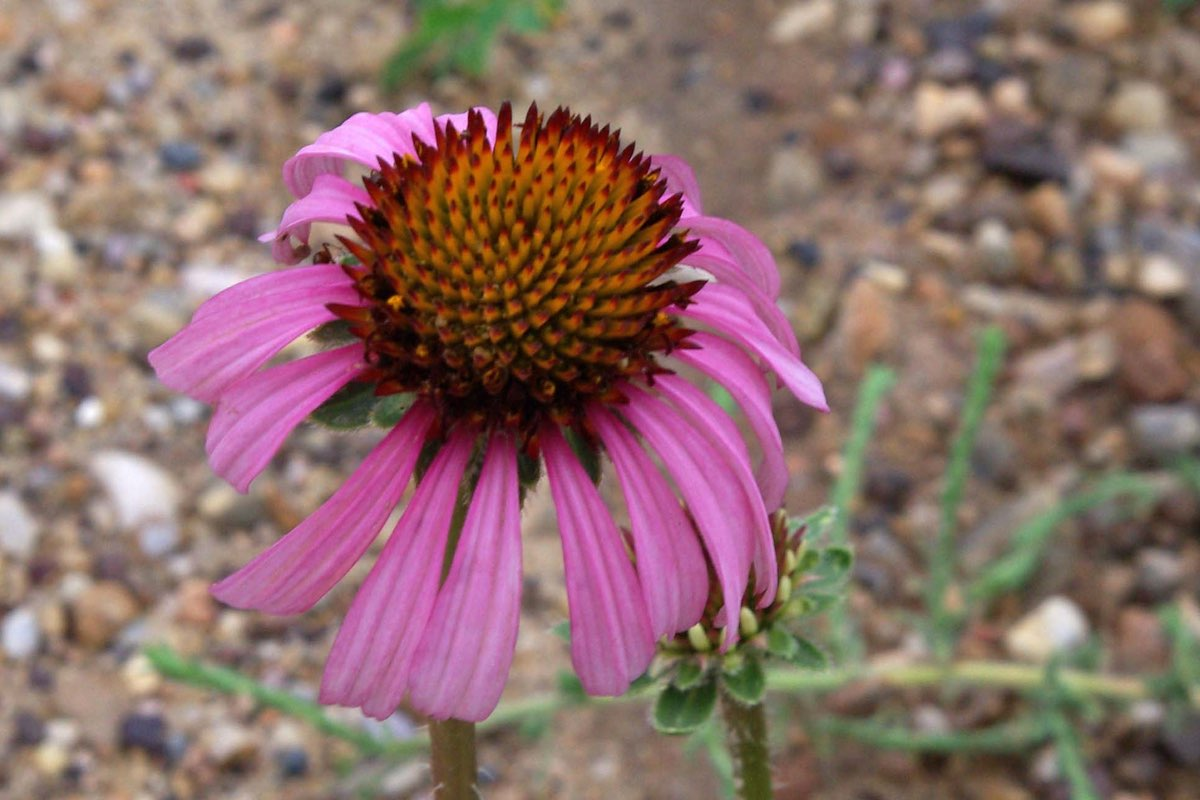 Purple Coneflower in Badlands National Park.