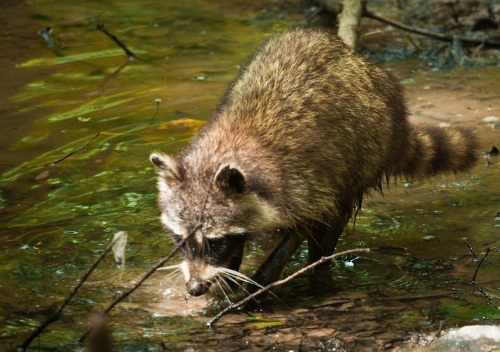 Raccoon (Procyon lotor) in Congaree National Park.