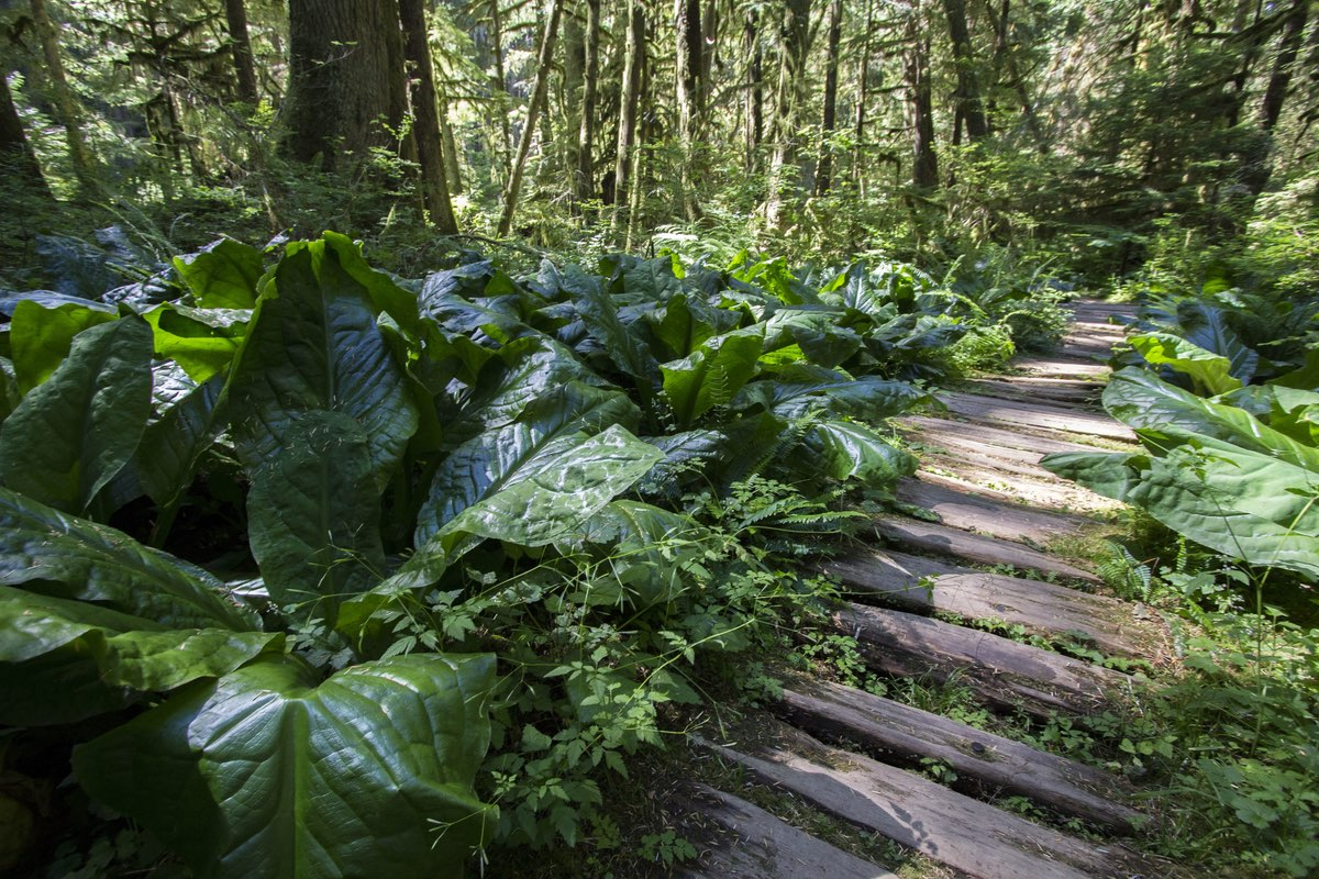 Carbon River Rain Forest Nature Trail boardwalk in Mount Rainier National Park.