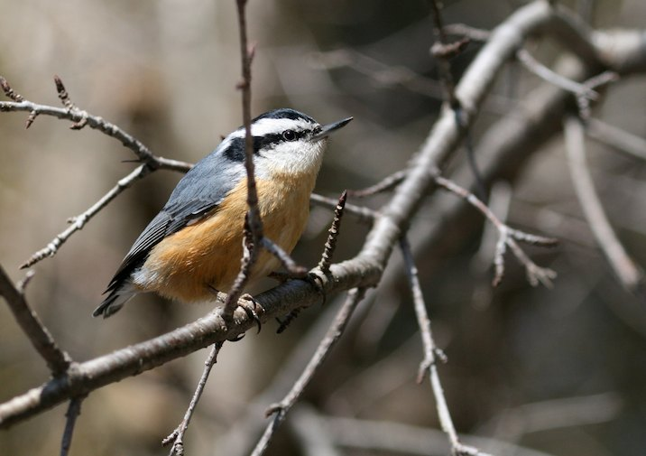 Keep an eye out for Red-breasted Nuthatches and other songbirds along this trail.