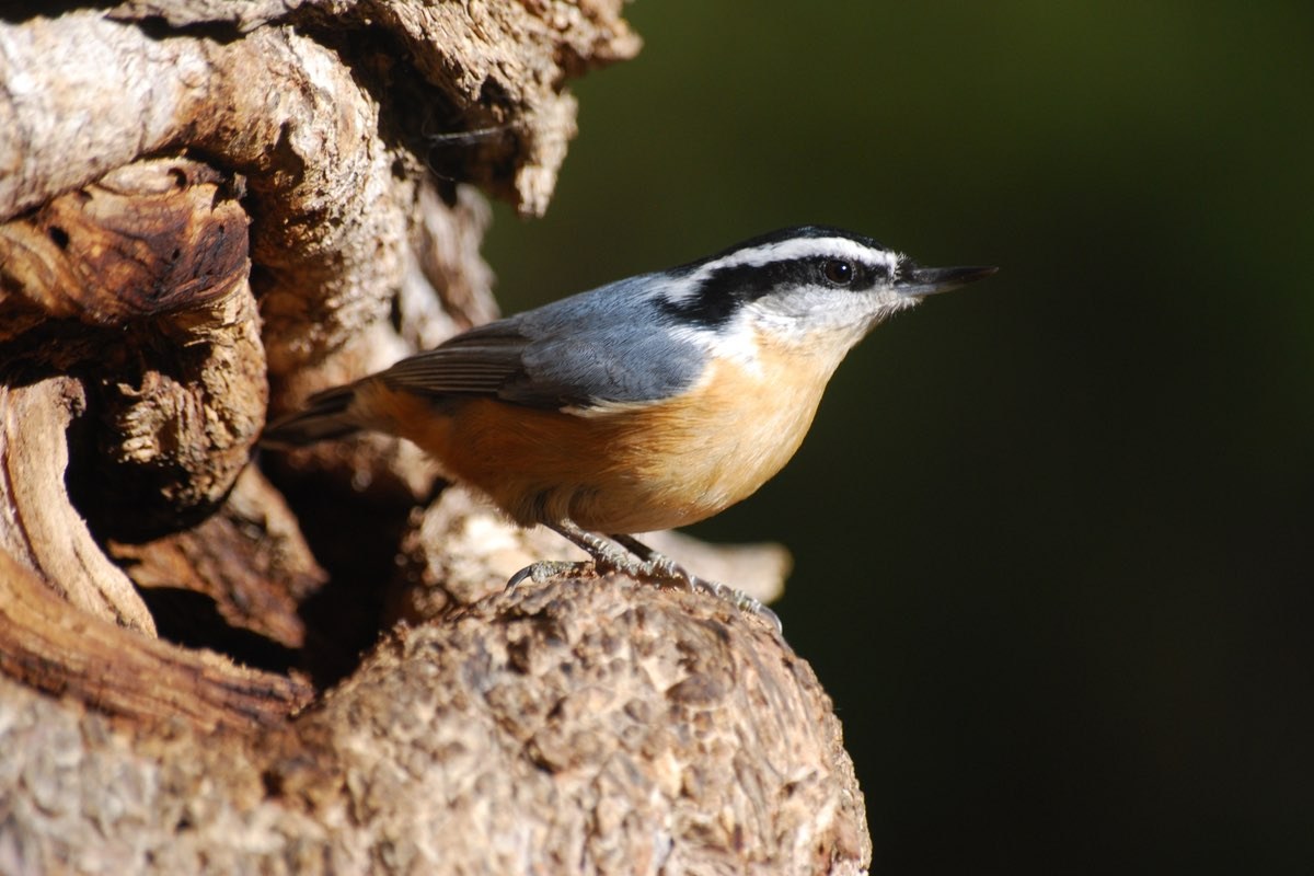 Red-breasted Nuthatch in Wind Cave National Park.