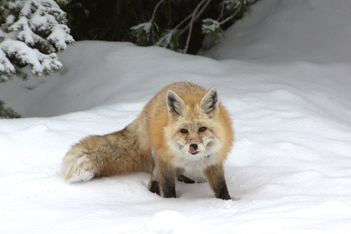 Red Fox in Mount Rainier National National Park.
