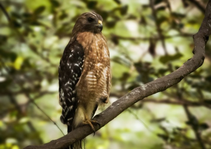 Red-shouldered Hawk (Buteo lineatus) in Congaree National Park.