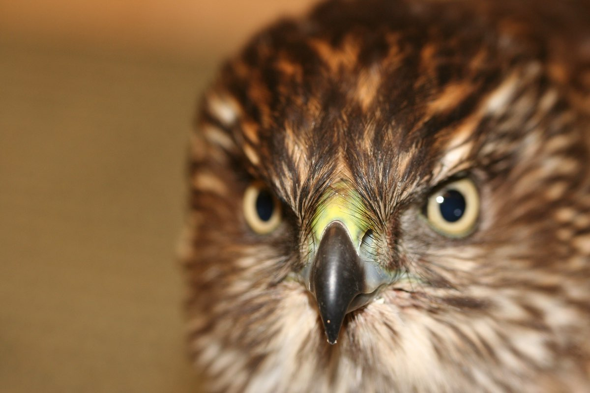 Red-shoulder Hawk close up in Oregon Caves National Monument.