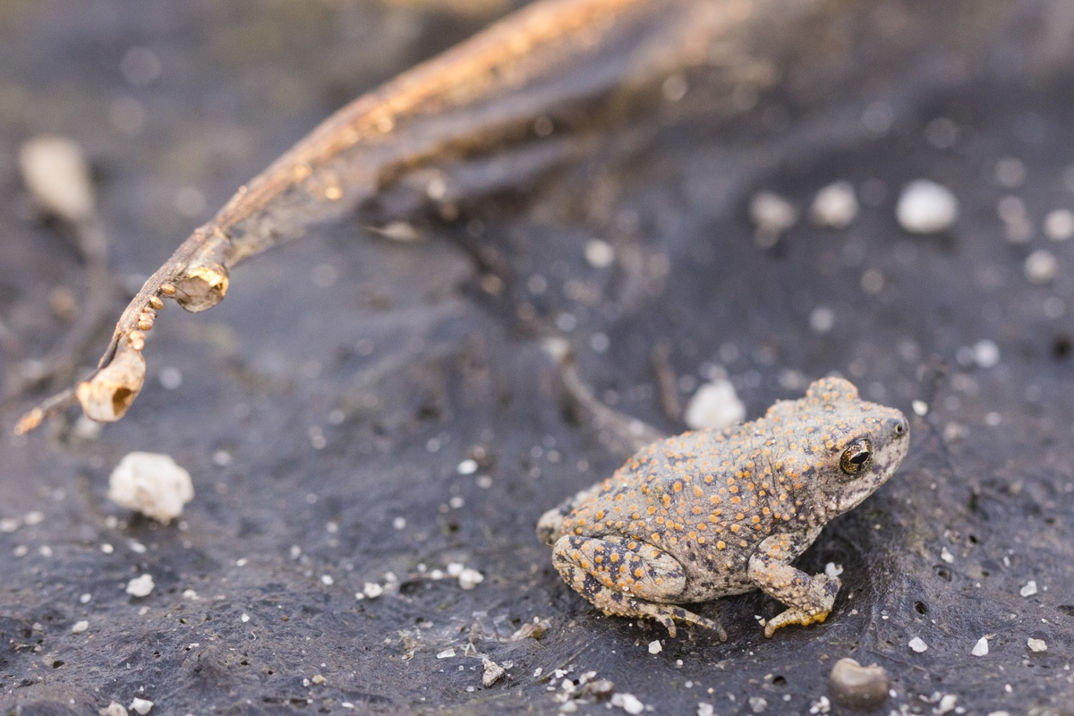 Red-spotted Toad (Bufo punctatus) in Joshua Tree National Park.