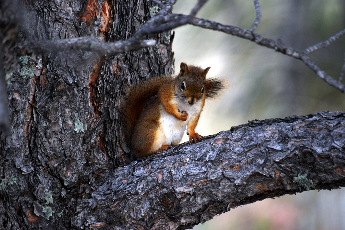 Red Squirrel in Wind Cave National Park.
