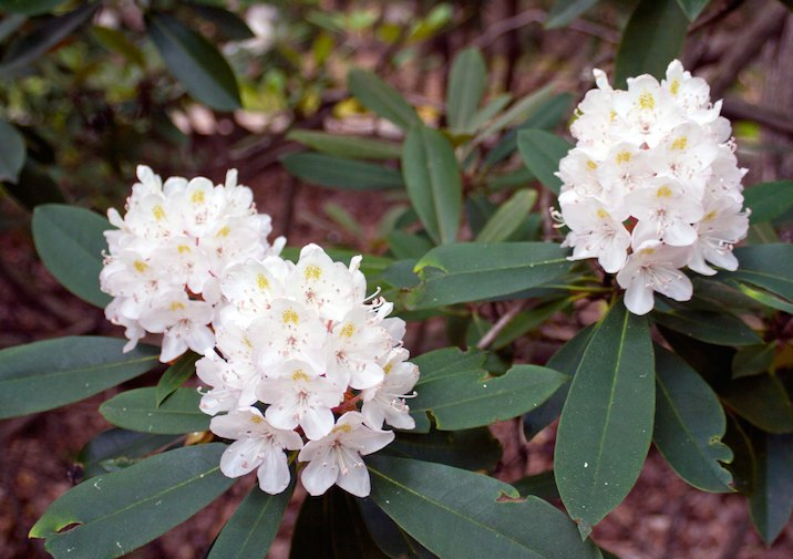 Blooming Rhododendron in Cook Forest State Park.