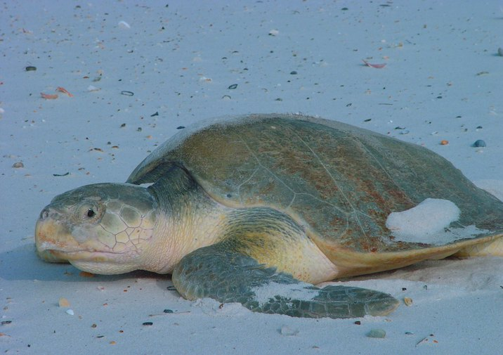Ridley's Kemp Sea Turtle in Bon Secour National Wildlife Refuge in Alabama.