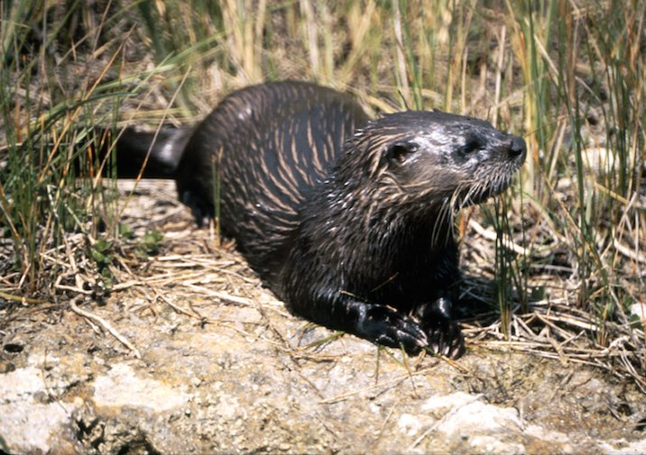River Otter (Lontra canadensis) in Everglades National Park.