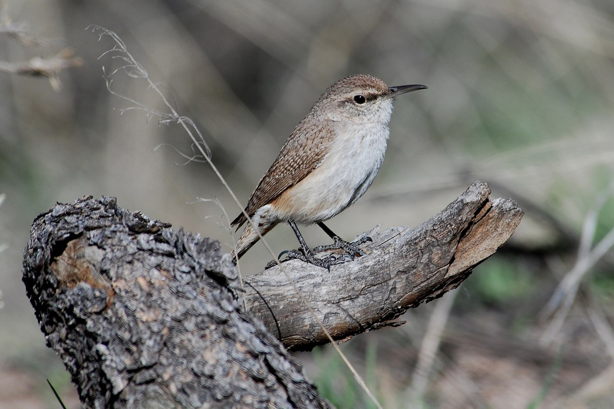 Rock Wren in Bandelier National Monument.