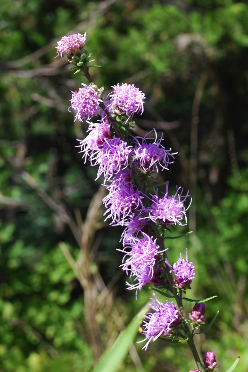 Rough Blazing Star (Liatris aspera) seen hiking along the East Bluff in Devil's Lake SP.