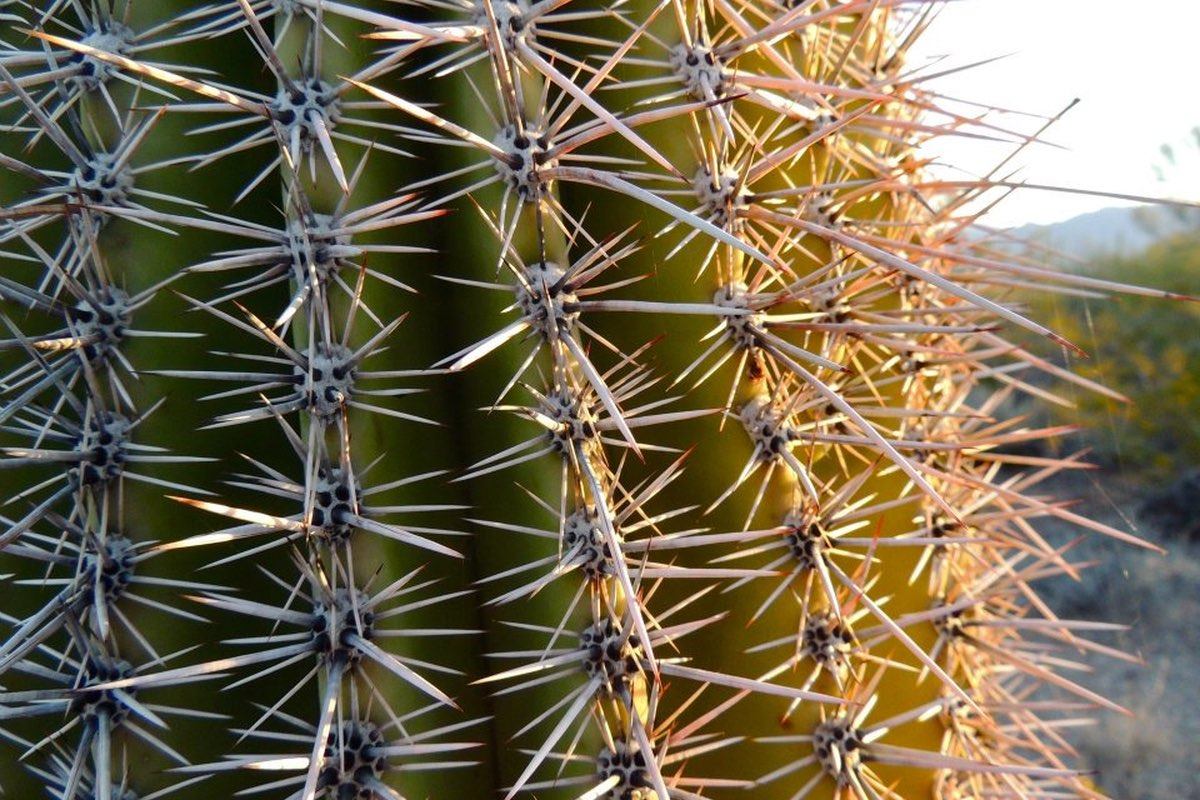 Saguaro spines in Saguaro National Park near Tucson.