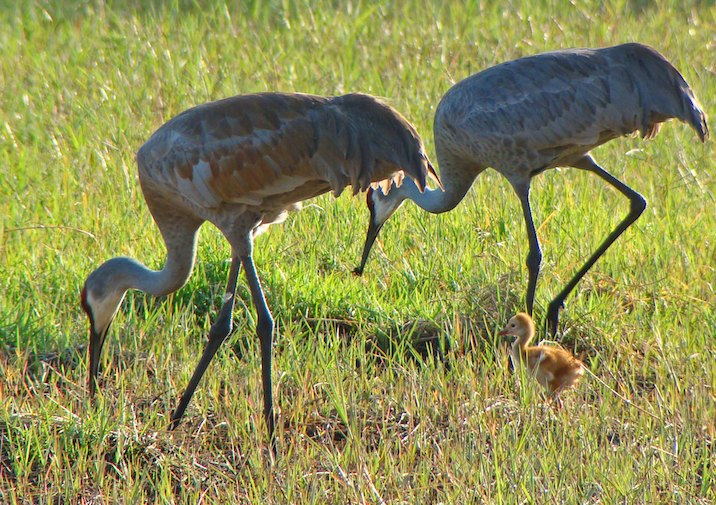 Sandhill Cranes (Grus canadensis) in Little Manatee River State Park.