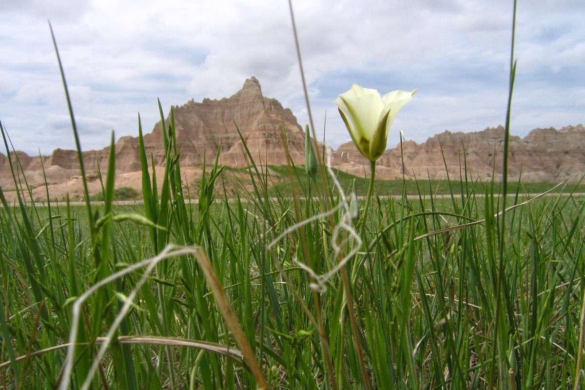 Sego Lily blooming in the Badlands National Park prairie.