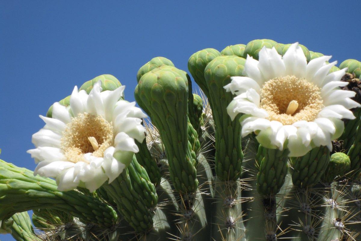 Saguaro bloom along the Sendero Esperanza Trail in Saguaro National Park.