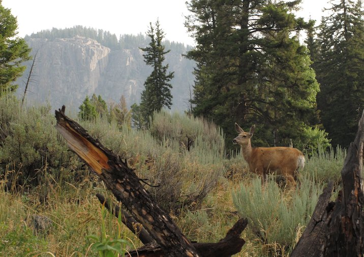 Deer along Slough Creek Trail in Yellowstone National Park.