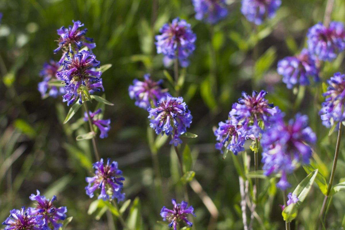 Small-flower Penstemon in Mount Rainier National Park.