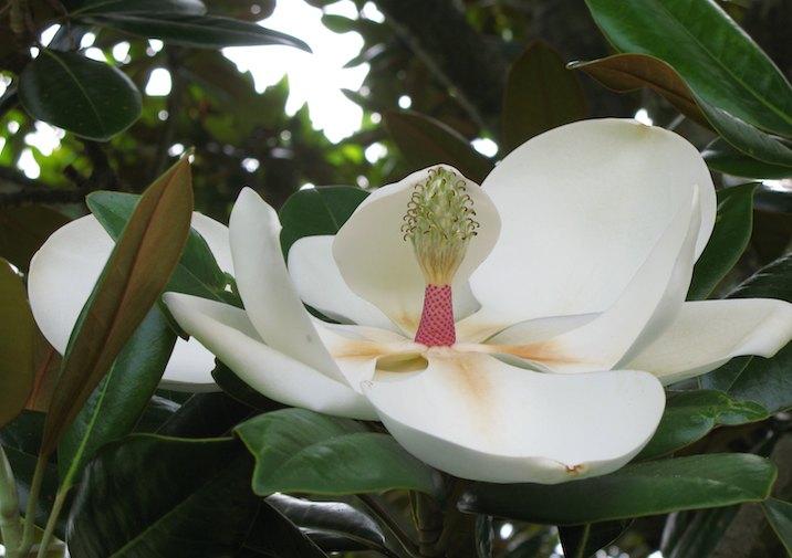 Southern Magnolia (Magnolia grandiflora) Bloom.