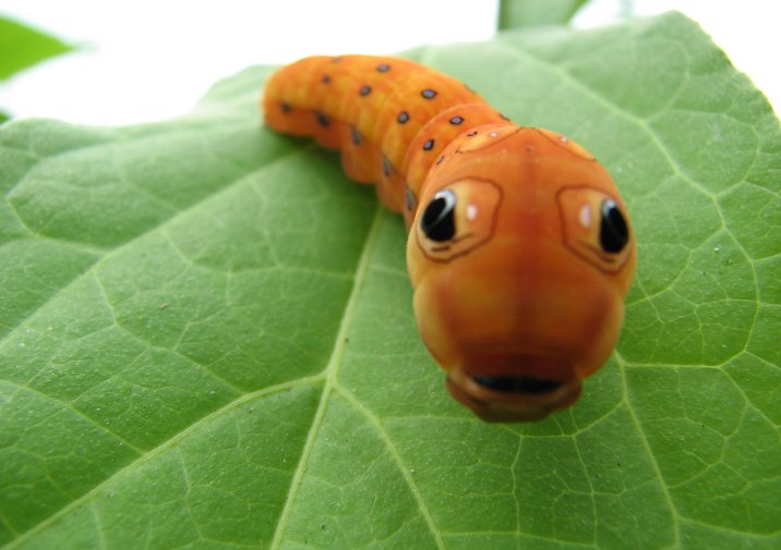 Spicebush swallowtail caterpillar (Papilio troilus) looking at you.