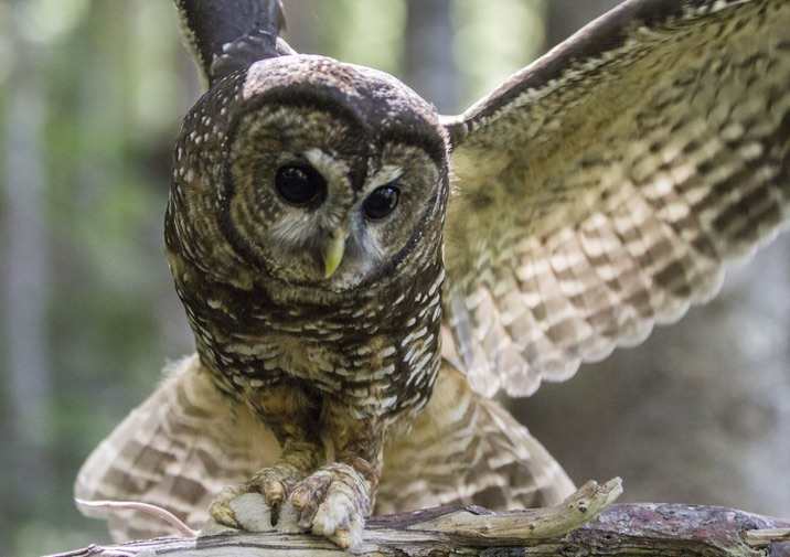 Female Spotted Owl with a mouse in Mount Rainier National Park.