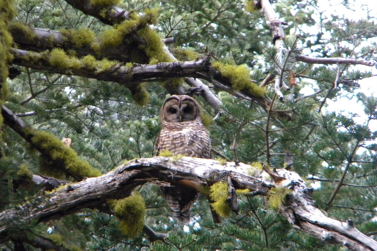 Spotted Owl in Lassen Volcanic National Park.