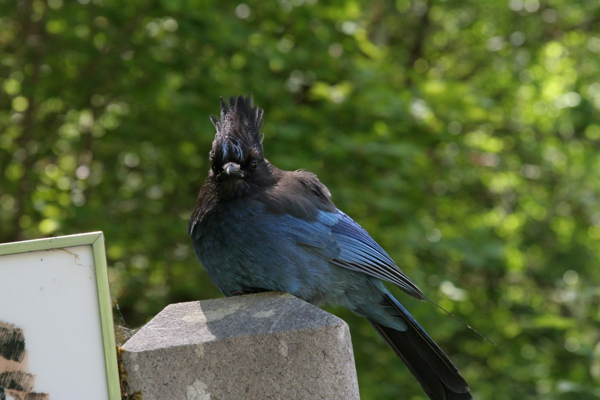 Steller's Jay in Oregon Caves National Monument.