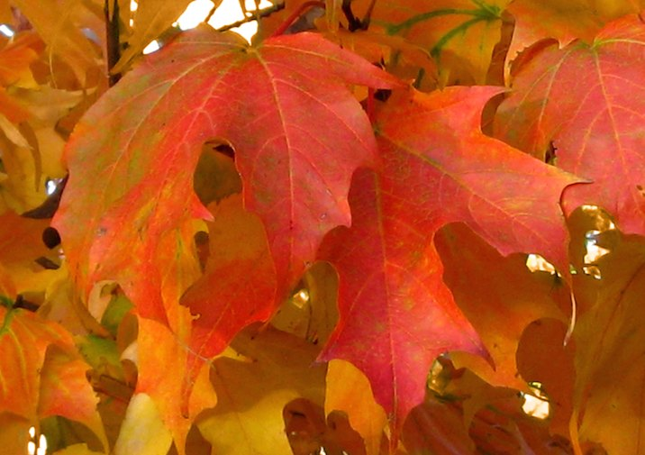 Sugar Maple (Acer saccharum) leaves in the fall.