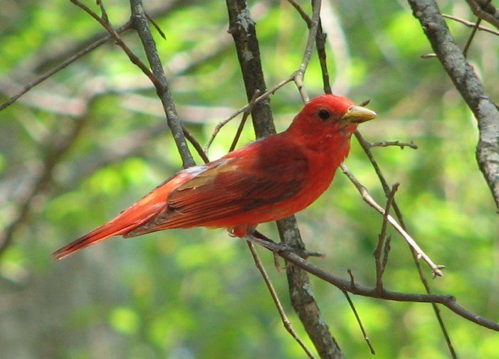 Summer Tanager (Piranga rubra) in Congaree National Park.