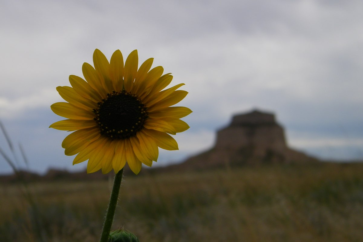Sunflower in Scotts Bluff National Monument.