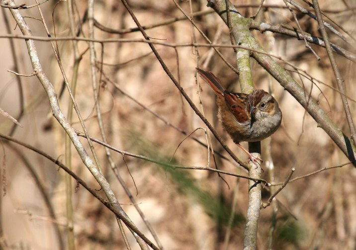 Swamp Sparrow (Melospiza georgiana) in Congaree National Park, South Carolina.