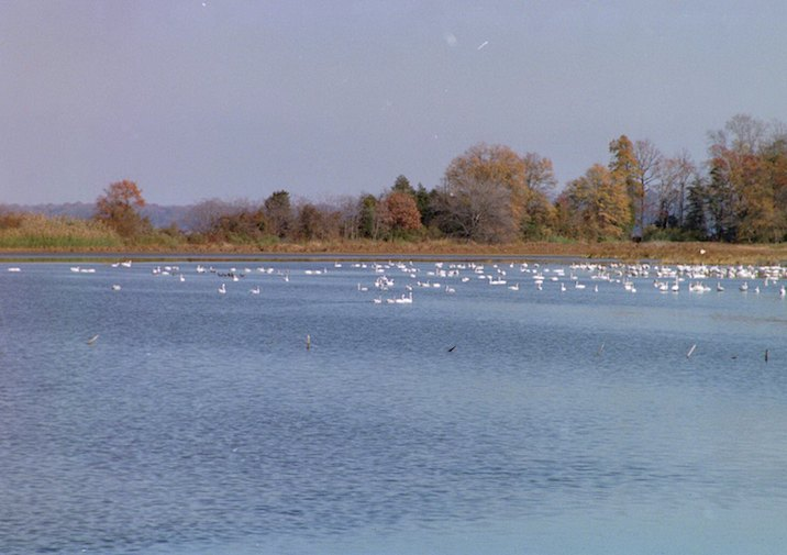 Swans on Jones Pond in Caledon State Park in Virginia.