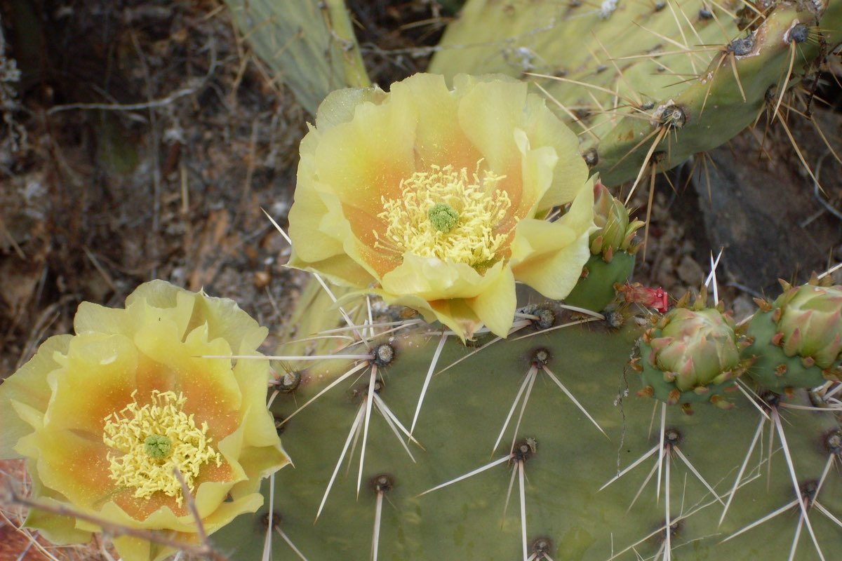 Cactus bloom along the Sweetwater Trail in Saguaro National Park.