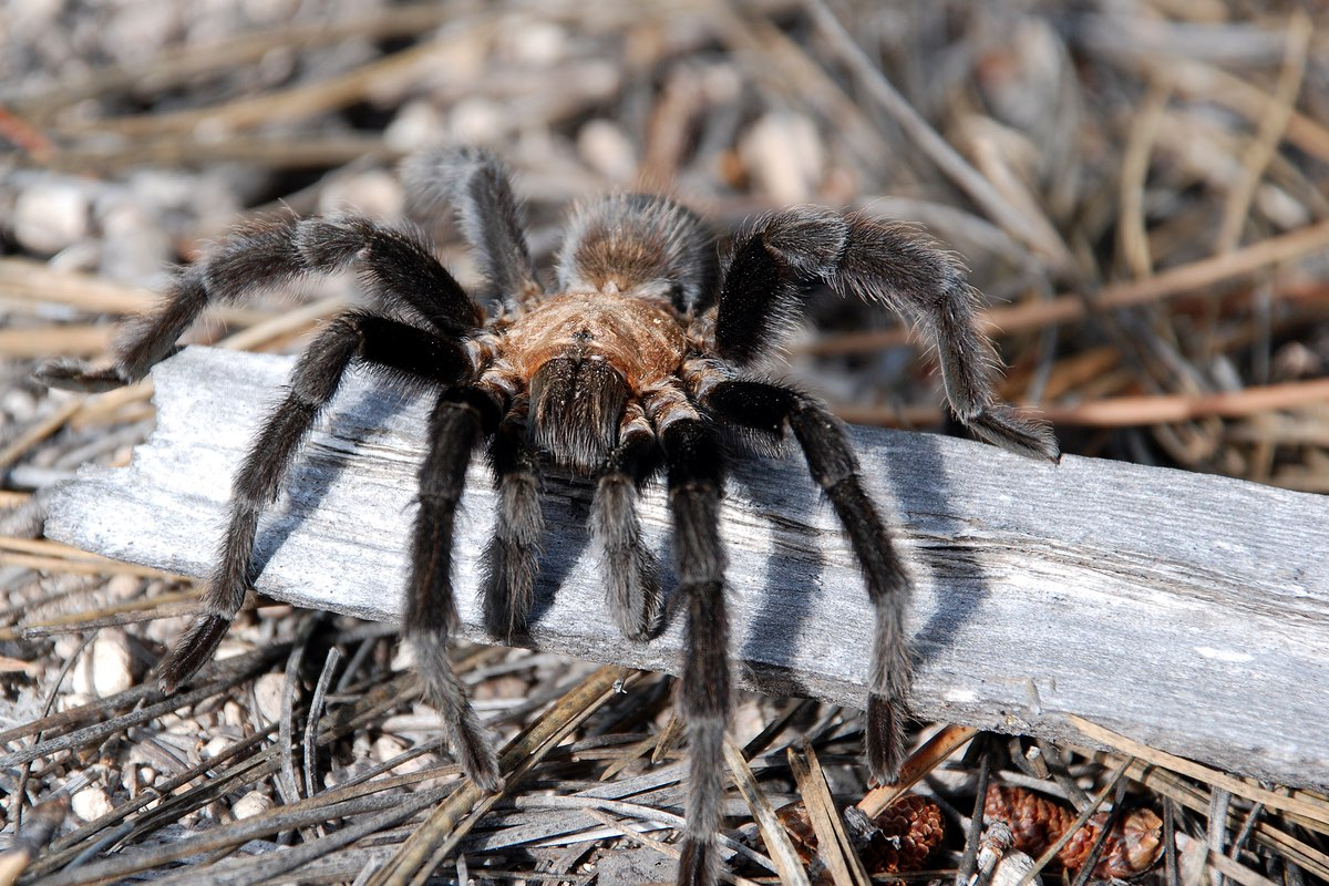 Male Tarantula in Bandelier National Monument.