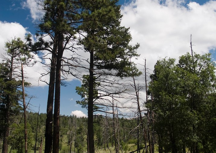 Soaring Ponderosa Pines along the Bowl Trail in GMNP.
