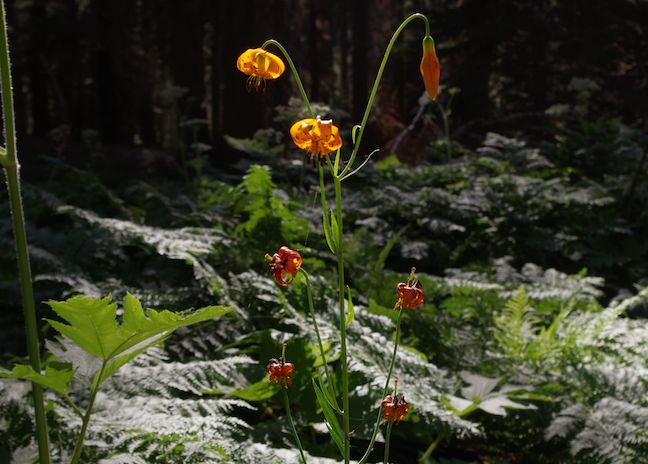Tiger Lily along the Crescent Meadow Loop in Sequoia N.P.