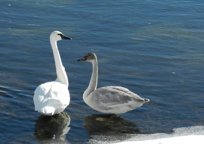 Trumpeter Swans are often observed in the Turnbull National Wildlife Refuge near Spokane, Washington.