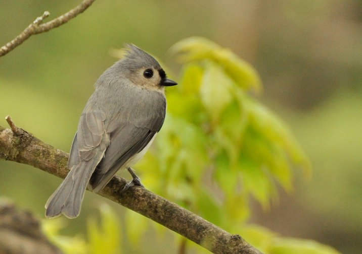 Look out for Tufted Titmouse and other songbirds along the trail.