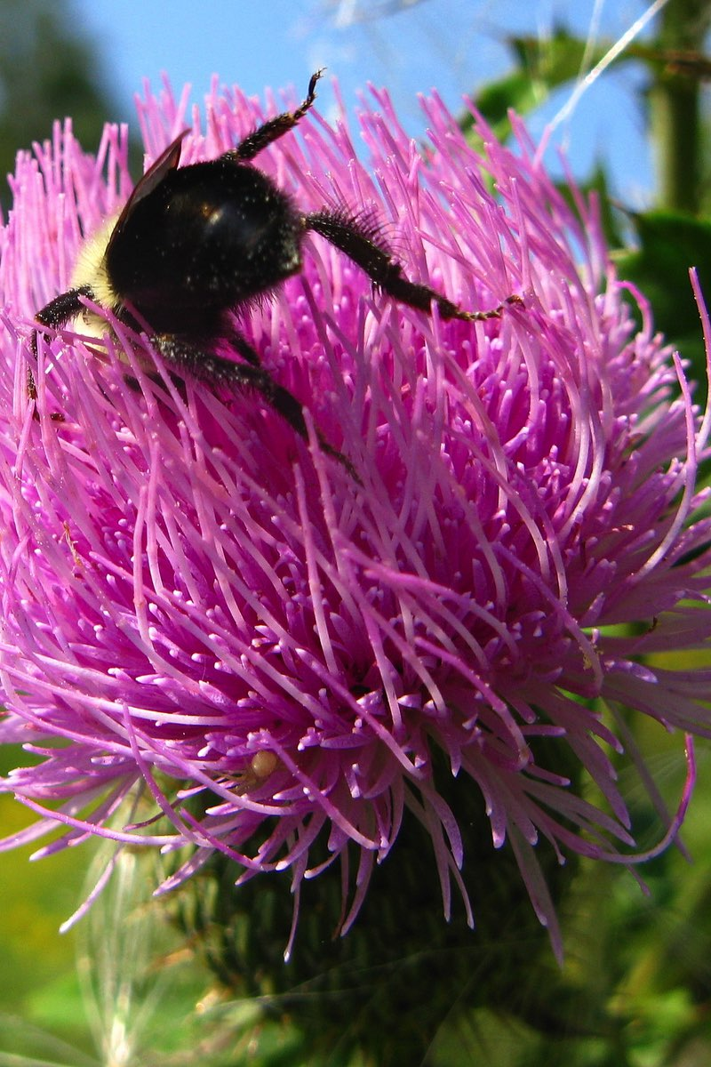Bee on a thistle on Turkey Mountain near Tulsa Oklahoma.