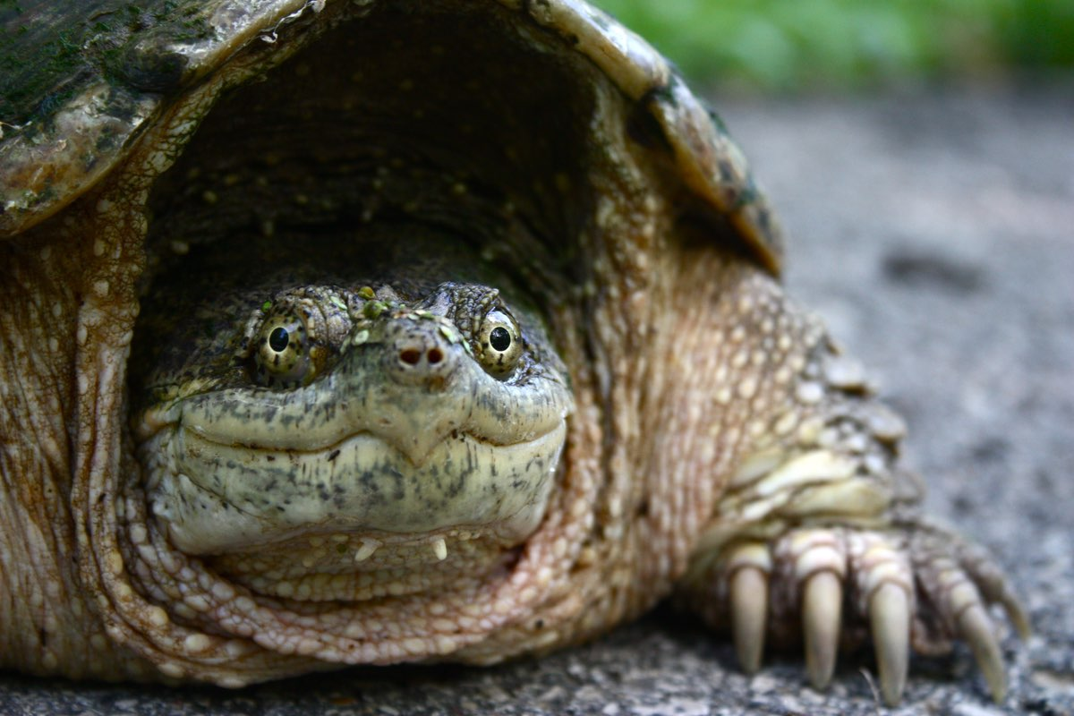 Turtle in Knob Noster State Park Missouri.