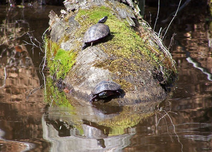 Turtles relaxing in Bear Creek Lake State Park in Virginia.