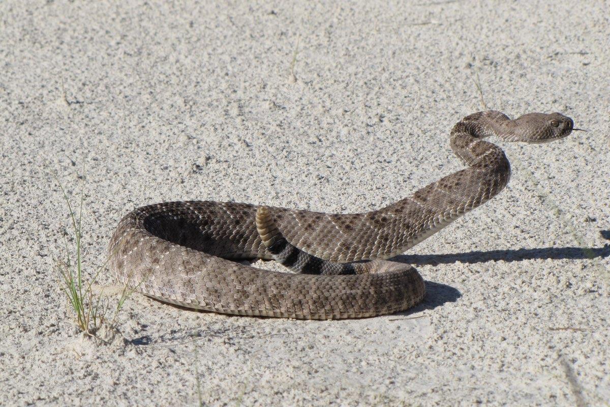 Western Diamondback Rattlesnake in White Sands National Monument.